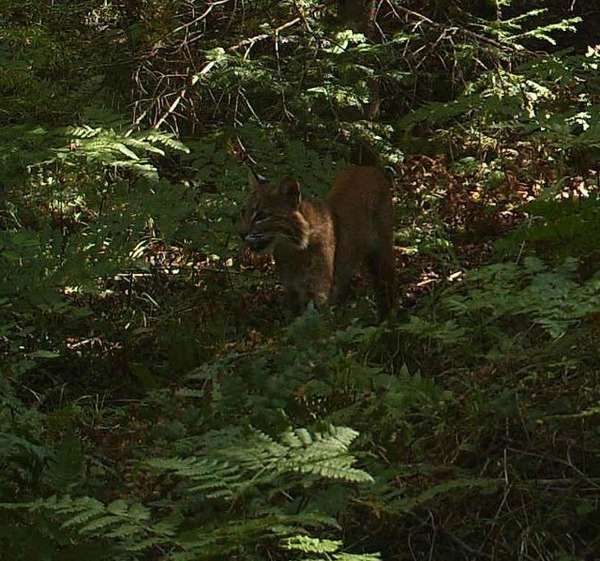 Bobcat (Lynx rufus) captured on a trail camera