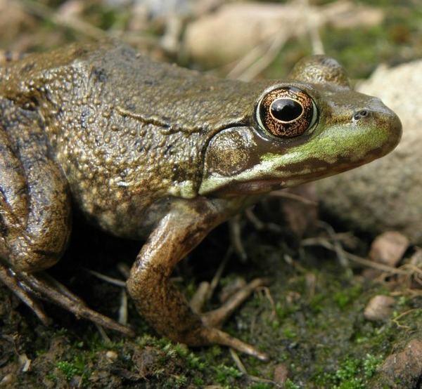 Green Frog (Lithobates clamitans).