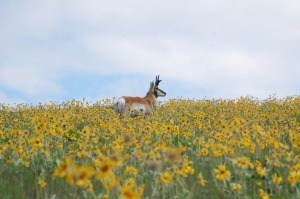 Pronghorn antelope at the National Bison Range